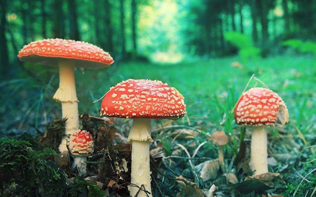 Amanita Muscaria Mushroom | Our First Experiences | Honest Review | TruthSeekah